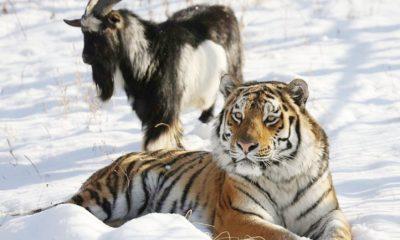tigre_y_cabra_1104662830