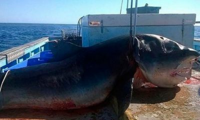un-gran-tiburon-cae-sobre-la-c-jpg_700x0