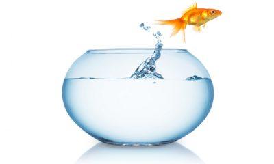 ¿Sabías que el pez dorado era gris?