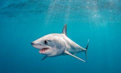 ¿Sabías que el animal más rápido del océano es un tiburón?