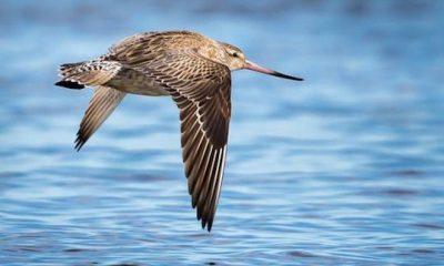 ¿Sabías que existe un ave que vuela ocho horas sin parar?