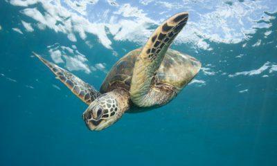 ¿Sabías que las tortugas marinas tienen un GPS interno?