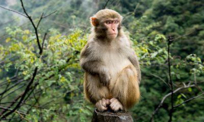 ¿Sabías que los monos tienen cuerdas vocales?