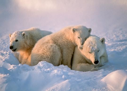 ¿Sabías que los osos polares tienen tres párpados?