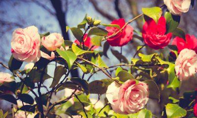 ¿Sabías que si regalas una rosa usas floriografía?
