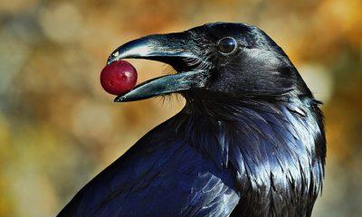 ModoFun.com- Cuervos-Pájaros