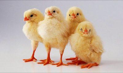 pollos- adn- modofun