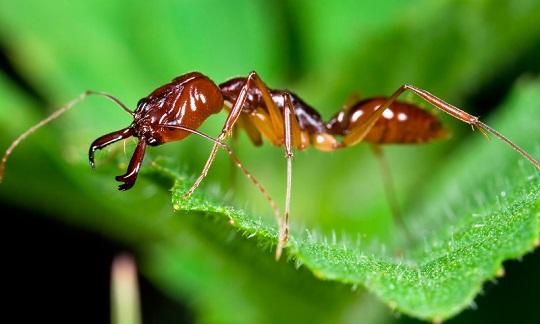 ¿Sabías que hay hormigas que se convierten en zombies al ser infectadas por un hongo