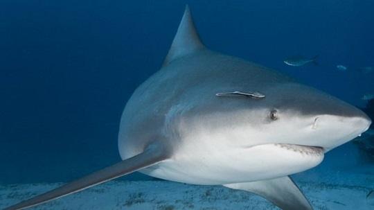 ¿Sabías que los embriones del tiburón toro se devoran unos a otros en el vientre materno?