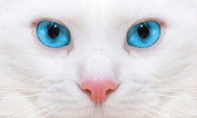 ¿Sabías que los gatos blancos de ojos azules son sordos