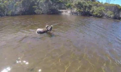 ¿Sabías que los koalas pueden nadar, pero se agotan con facilidad