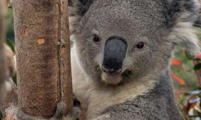 ¿Sabías que los koalas son inmunes al veneno del eucalipto gracias a su ADN