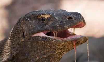¿Sabías que el dragón de Komodo mata a sus víctimas con veneno?