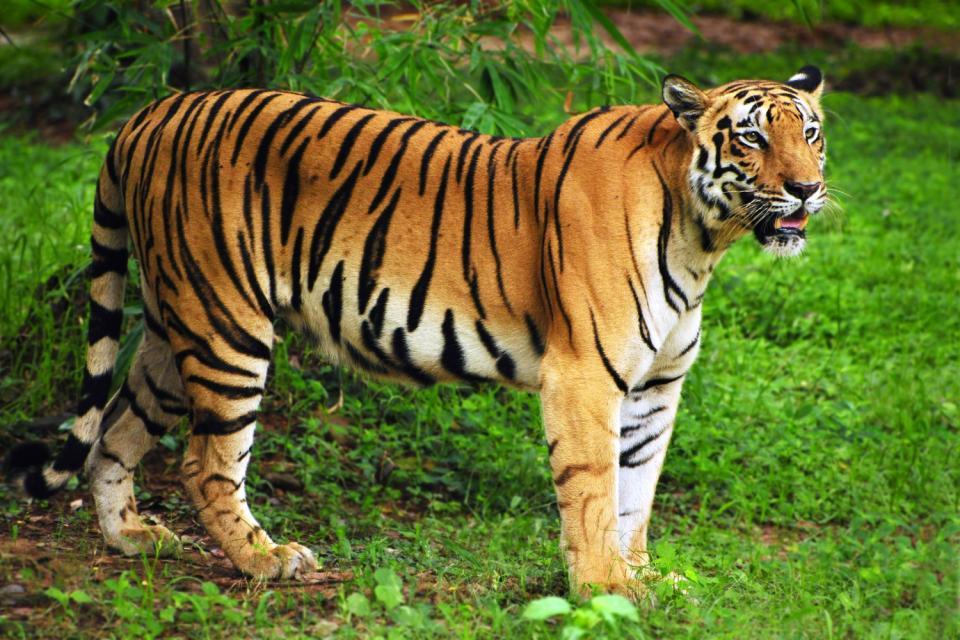 ¿Sabías que el tigre es el felino más grande del mundo