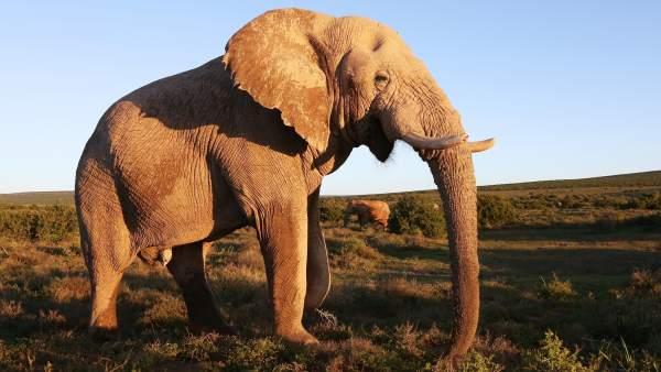 ¿Sabías que los elefantes tienen una alarma para advertir un ataque de abejas