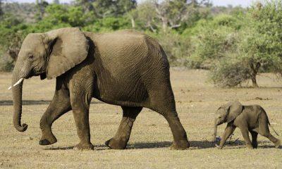 ¿Sabías que las hormigas defienden el medioambiente de los elefantes