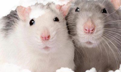 ¿Sabías que los ratones también expresan su dolor con sus gestos