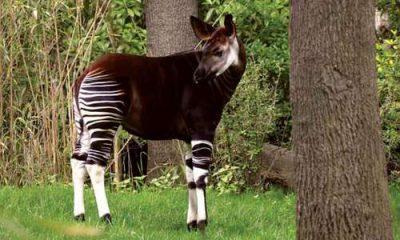 ¿Sabías que el Okapi es pariente de la jirafa