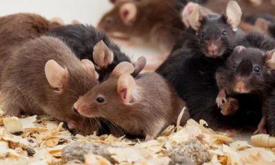 ¿Sabías que los ratones también expresan su dolor?