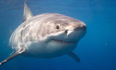 ¿Sabías que los tiburones usan mapas mentales