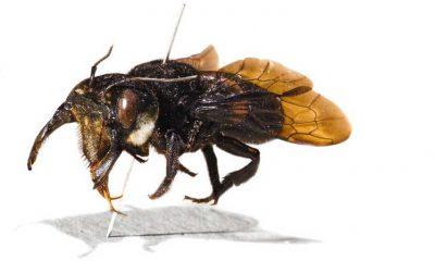 ¿Sabías que existe una abeja inmensa?