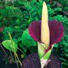 ¿Sabías que la flor cadáver es la más grande del mundo