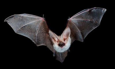 ¿Sabías que los murciélagos se cuelgan de cabeza?
