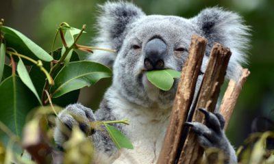 ¿Sabías que los koalas pueden vivir sin agua?