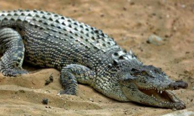 ¿Sabías que el cocodrilo puede sobrevivir comiendo solo una vez al año