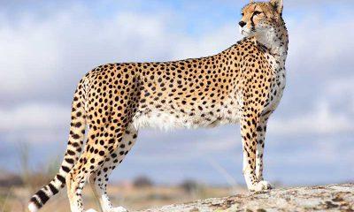 ¿Sabías que el guepardo puede alcanzar los