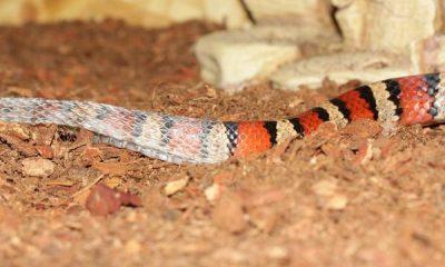 ¿Sabías que existe una serpiente que cambia de color