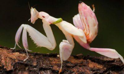 ¿Sabías que la Mantis Flor se hacer pasar por flor?