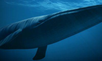 ¿Sabías que la ballena azul es el animal más grande?