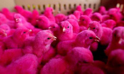 ¿Sabías que quieren alterar el ADN de los pollos?