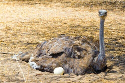 ¿Sabías que el huevo más grande es el de avestruz?