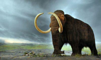 ¿Sabías que se planea revivir a los mamuts con óvulos de elefante?