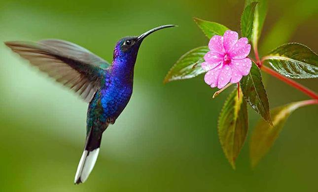¿Sabías que el corazón del colibrí late veloz?