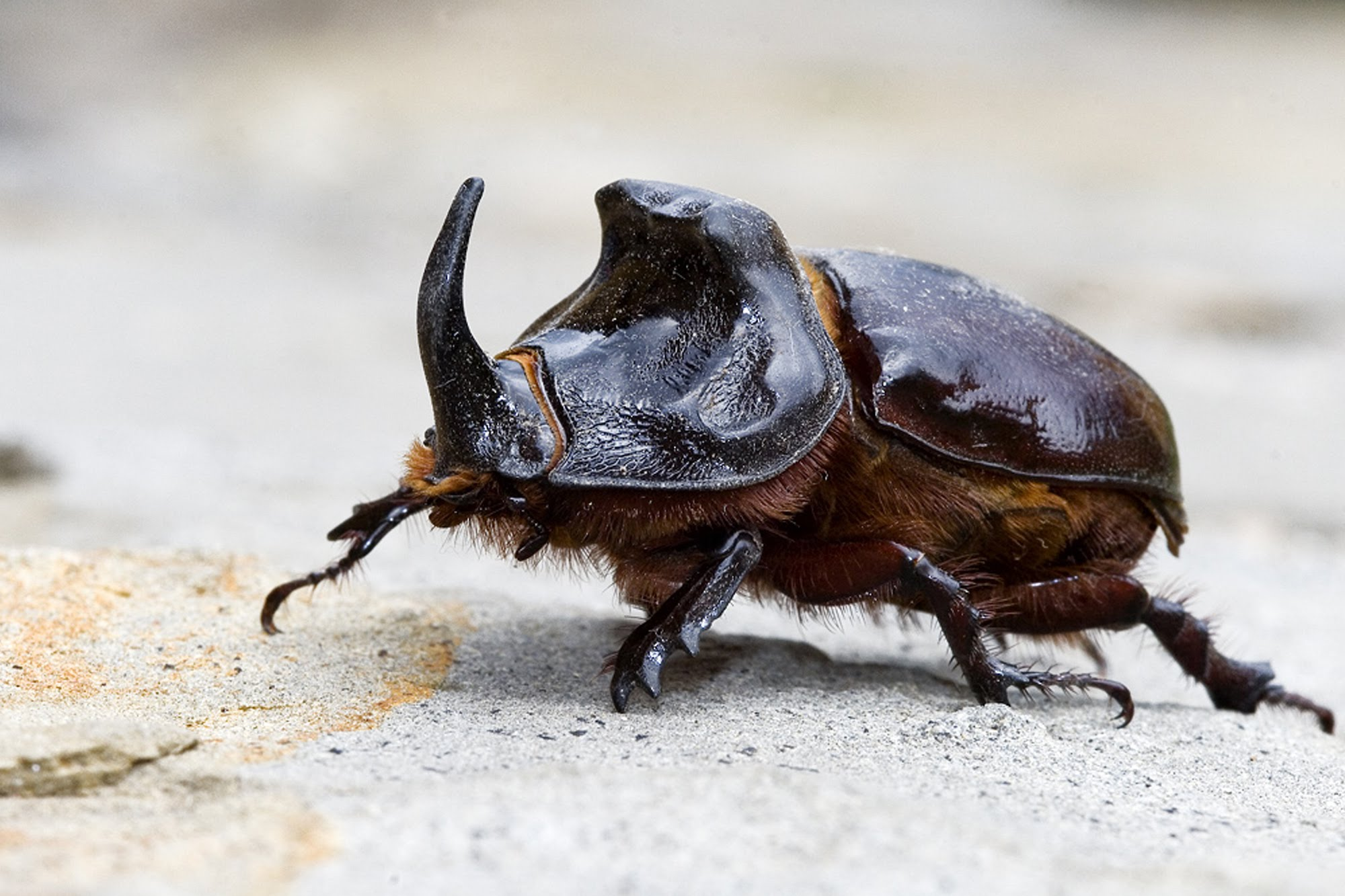 ¿Sabías que el escarabajo rinoceronte es muy fuerte?