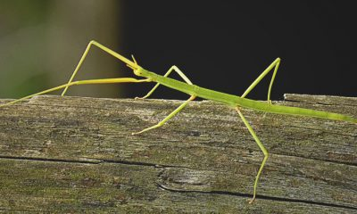¿Sabías que el insecto palo es el más largo
