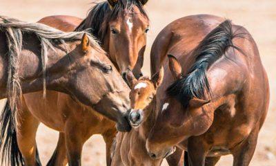 ¿Sabías que los caballos pueden dormir de pie sin caerse?