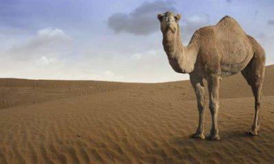 ¿Sabías que los camellos pueden estar hasta 17 días sin agua?