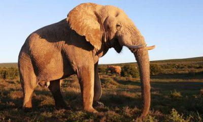 ¿Sabías que los elefantes hacen tributo a sus muertos?