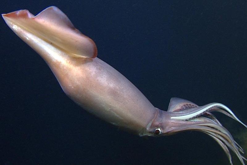 ¿Sabías que los ojos más grandes son de los calamares?