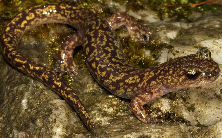 ¿Sabías que existe una salamandra sin pulmones?