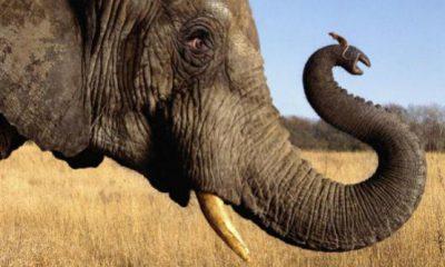 ¿Sabías que hay evolución de ratón a elefante?