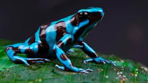 ¿Sabías que La Rana Dardo es la criatura más venenosa del mundo?