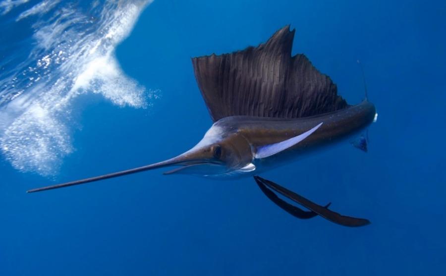 ¿Sabías que el pez vela es el mas rápido del mar?