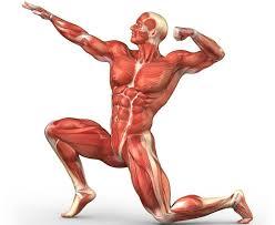 ¿Sabías que los humanos tienen más de 600 músculos?