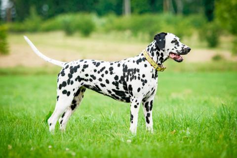 ¿Sabías que los perros dálmata no nacen con manchas?
